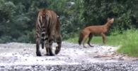 Посетители заповедника в индийском штате Карнатака стали очевидцами погони тигра за редким красным волком.
