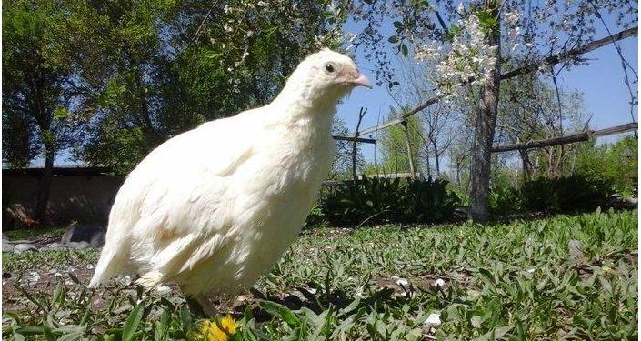 Перепелки на ферме кыргызстанца Радмира Хайруллина