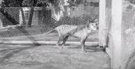 Видео с тилацином было сделано в декабре 1935 года. Животное умерло в сентябре 1936-го. Специалисты называют кадры уникальными.