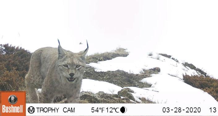 Рысь, снятая фотоловушкой на западном отроге Кыргызского Ала-Тоо