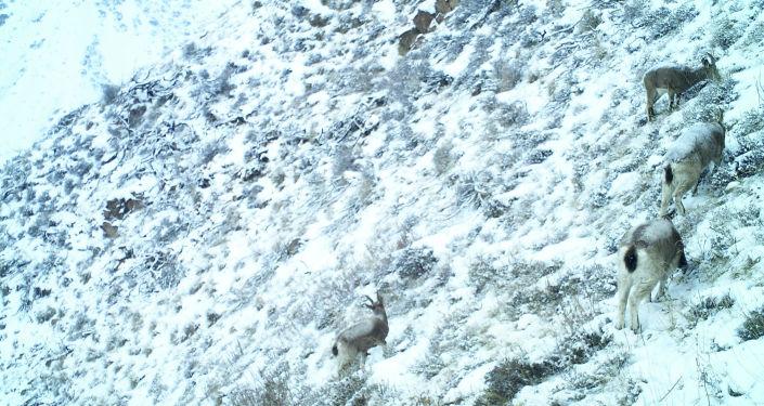Козероги, снятые фотоловушкой на западном отроге Кыргызского Ала-Тоо