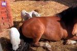 Англиянын Сомерсет графтыгындагы жайытта жетим калган үч козуга пони мээримин төгүп, кайтарып, ал тургай эмизип баштаган.