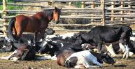 Коровы и лошадь в загоне. Архивное фото