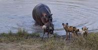 Эти кадры сняты в южноафриканском заповеднике — парке Крюгера. Туристы по рации услышали, что неподалеку началась охота и отправились туда.