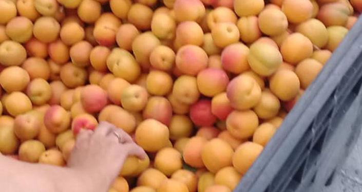 Урожай абрикоса в Баткенской области