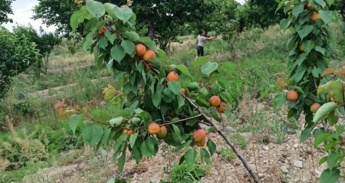 Сбор урожая абрикоса в Баткенской области