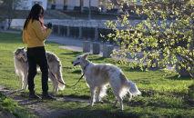 Девушка выгуливает собак. Архивное фото