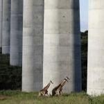Жирафы в Национальном парке Найроби, Кения