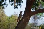 Героиня этой видеозаписи — самка леопарда по кличке Малайка. Она находится в своей лучшей физической форме и очень удачно охотится из засады, настигая добычу в метком прыжке с дерева.