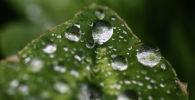 Дождевые капли на листьях. Архивное фото