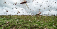 Стая пустынной саранчи взлетает в воздух от посевов. Архивное фото