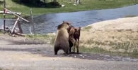 В Йеллоустонском национальном парке турист снял на видео смертельную схватку медведя и молодого бизона.
