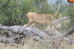 Туристы в южноафриканском заповеднике Саби-Сэнд запечатлели на камеру, как несколько игривых львят открыли для себя качели.