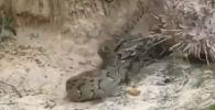 Индияда кол салган жылан менен кармашкан чүткөр (дикобраз) душманын ийнелери менен сайгылап, айласын кетирген.
