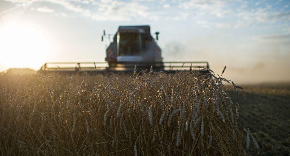 Уборка пшеницы. Архивное фото