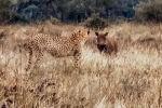 В южноафриканском природном заповеднике Крюгера туристы сняли на видео, как бородавочники лишили гепарда только что пойманной антилопы.