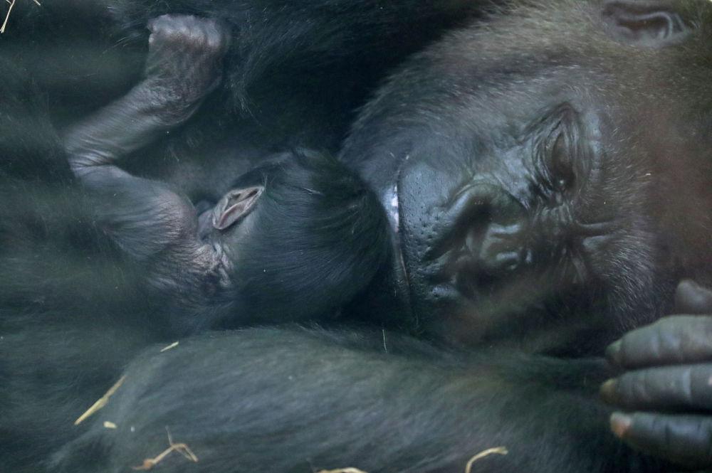 Горилла с новорожденным детенышем в зоопарке в бельгийском городе Антверпена. 25 июня 2020 года