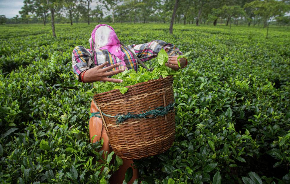 Женщина собирает чайные листья на поле в индийском штате Ассам. 27 июня 2020 года