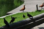 Утки и голуби у речки. Архивное фото