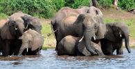 Cлоны в национальном парке Чобе в Ботсване. Архивное фото