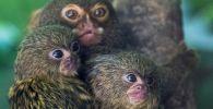 Детеныши карликовой игрунки в зоопарке на востоке Франции