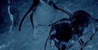 Перуда тартылган видеодон жарганаттын түн ичинде улам бир жаш пингвиндин куйрук жагына, бутуна жармашып алып канын соргонун көрүүгө болот.