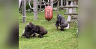 В одном из зоопарков Великобритании на видео попало, как самец гориллы спас детеныша, пока самки выясняли свои отношения.